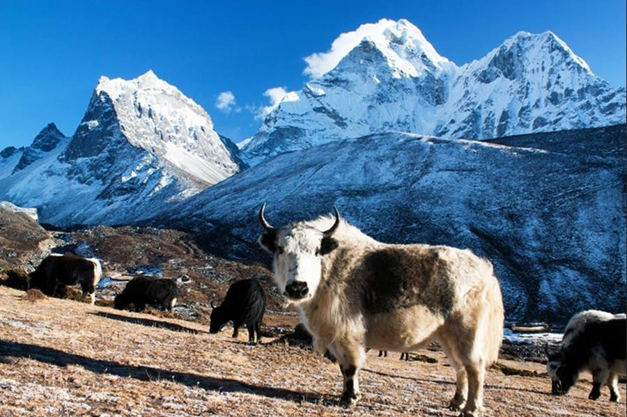Yak Long-haired Himalayan Bovine