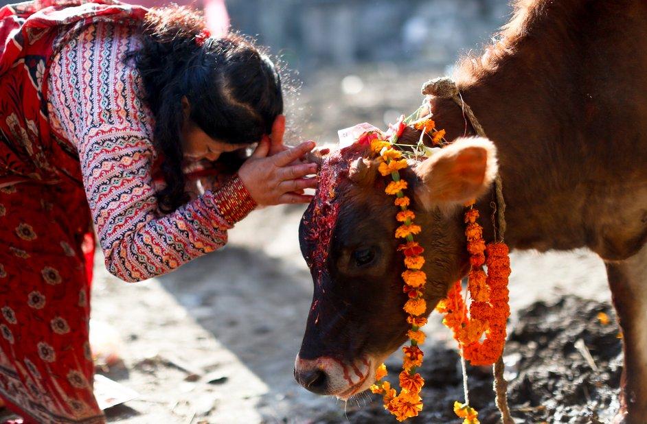 Gai (Cow) Tihar