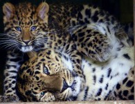 18 leopards dead in a year